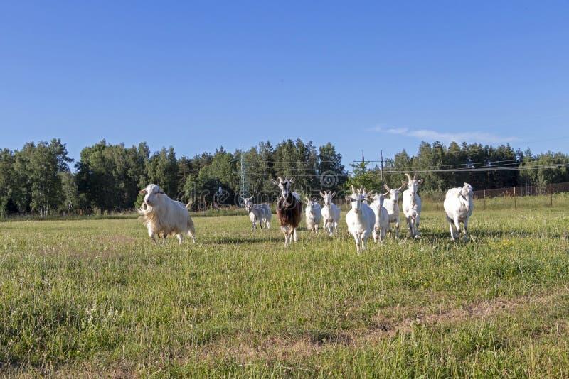 семья козы Свободно-ряда белая бежать в устойчивой органической ферме с зелеными полями под голубым небом стоковое фото rf