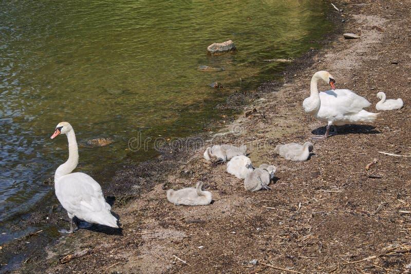Семья лебедя на песчаном пляже стоковые изображения rf