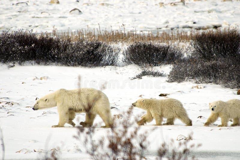 семья медведя приполюсная стоковое изображение