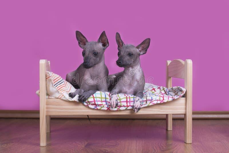 Семья мексиканских безволосых собак в утре в кровати стоковая фотография rf