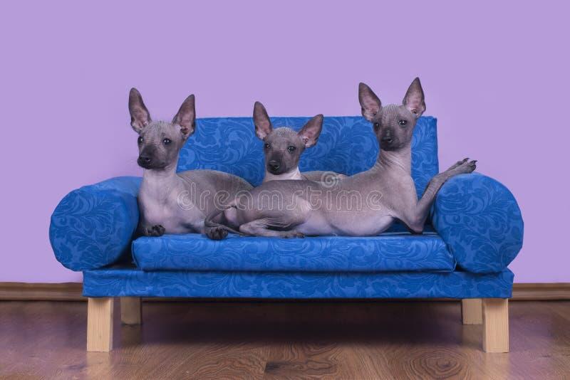 Семья мексиканских безволосых собак в утре в кровати стоковые фотографии rf