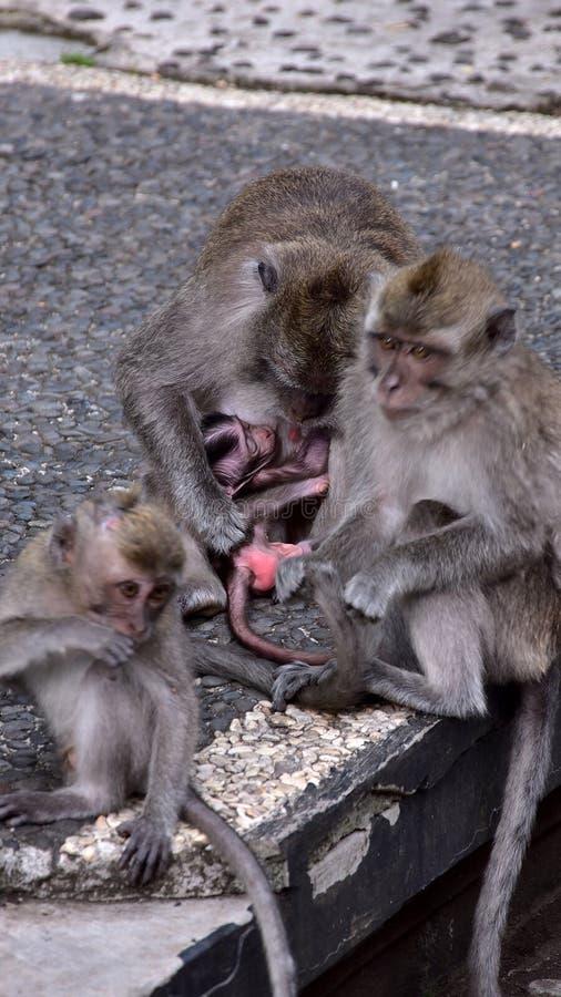 семья младенца холит ее мать обезьяны macaque стоковые изображения rf