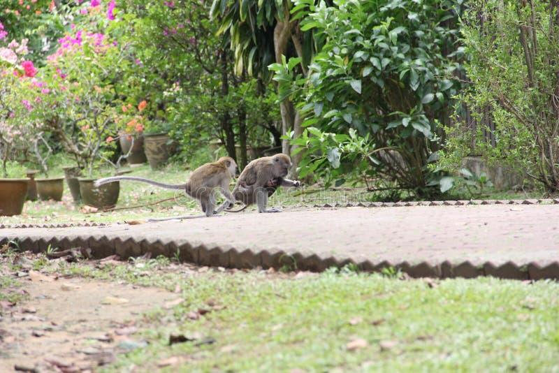 семья младенца холит ее мать обезьяны macaque стоковые фото