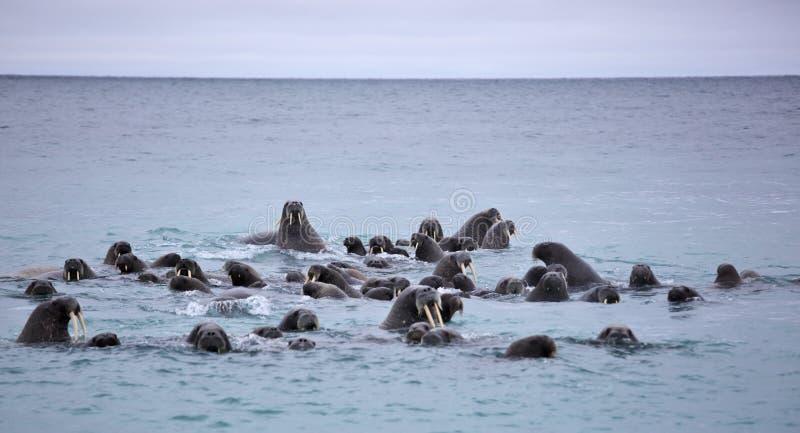 Семья моржа в море стоковое изображение