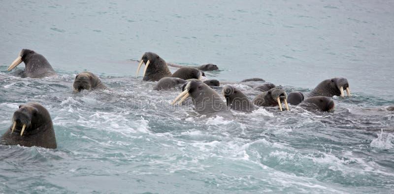 Семья моржа в море стоковые фотографии rf