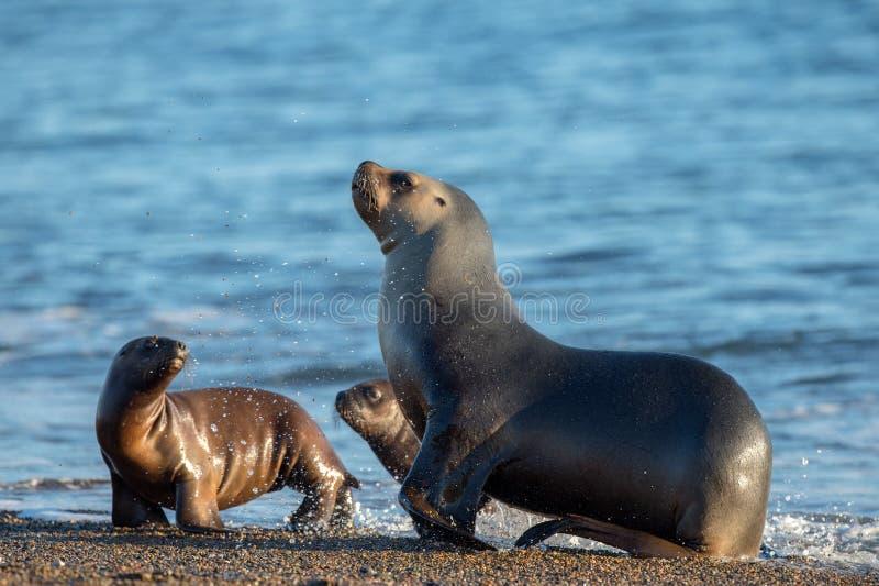 Семья морсого льва на пляже в Патагонии стоковые изображения rf