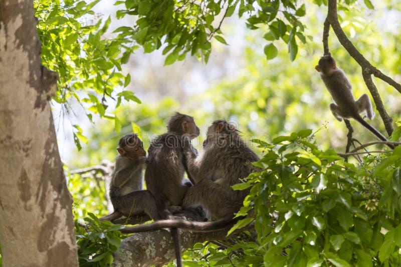 Семья обезьяны, Индия стоковые фото
