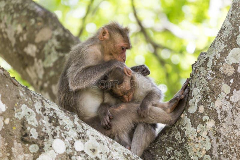 Семья обезьяны, Индия стоковое фото rf