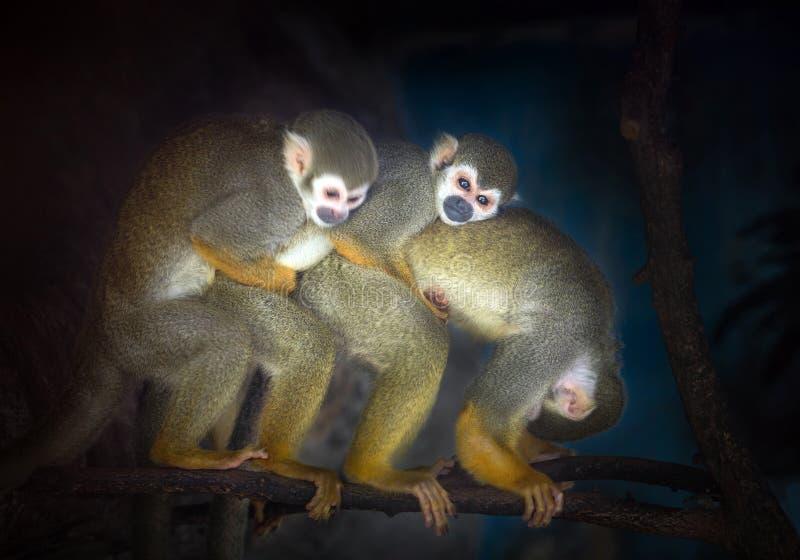 Семья обезьян белки стоковое изображение rf