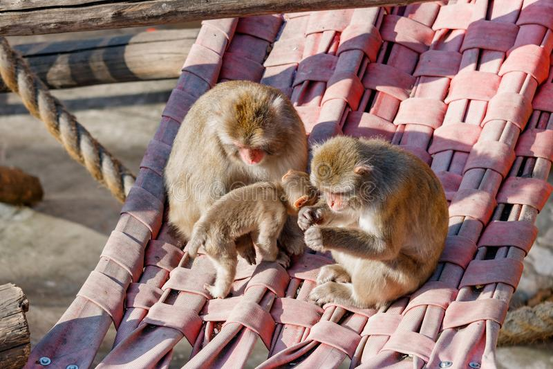Семья обезьян сидит в гамаке в деревьях стоковое фото