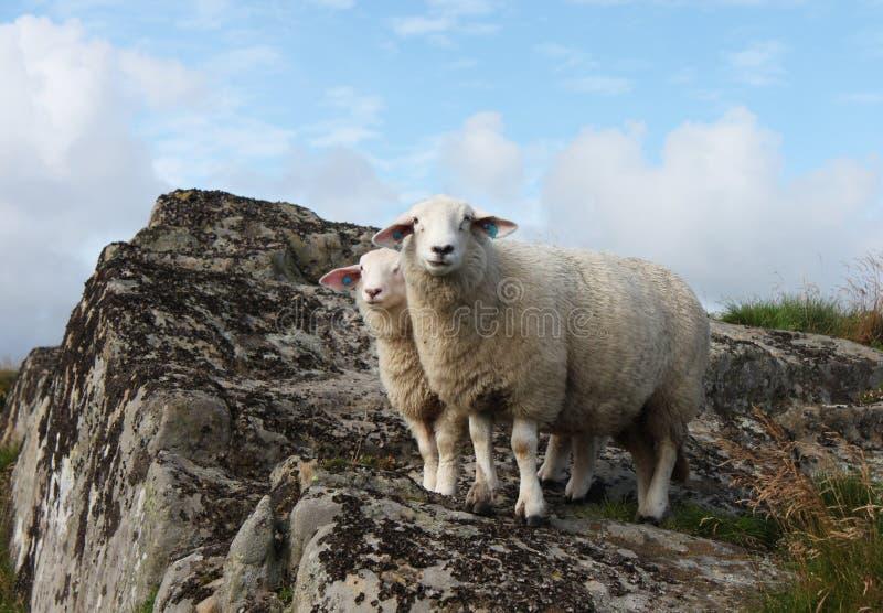 Семья овец стоковое фото rf