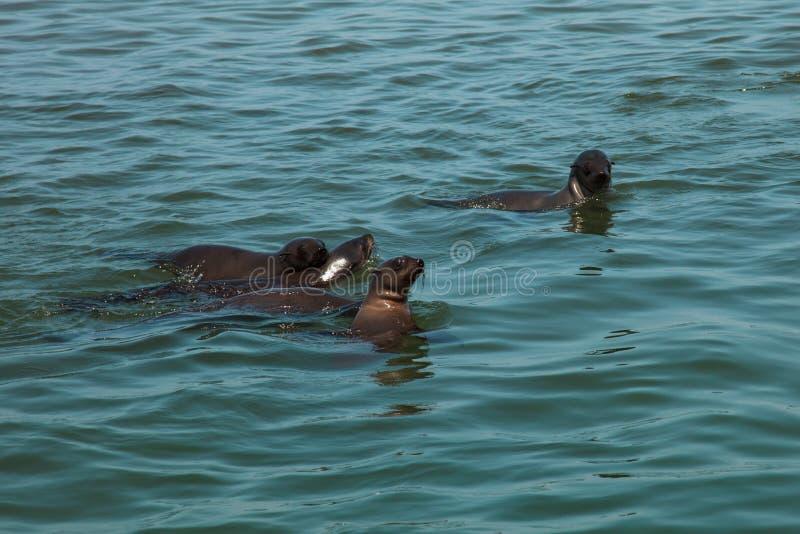 Семья огромного табуна заплывания морского котика около берега skele стоковое фото