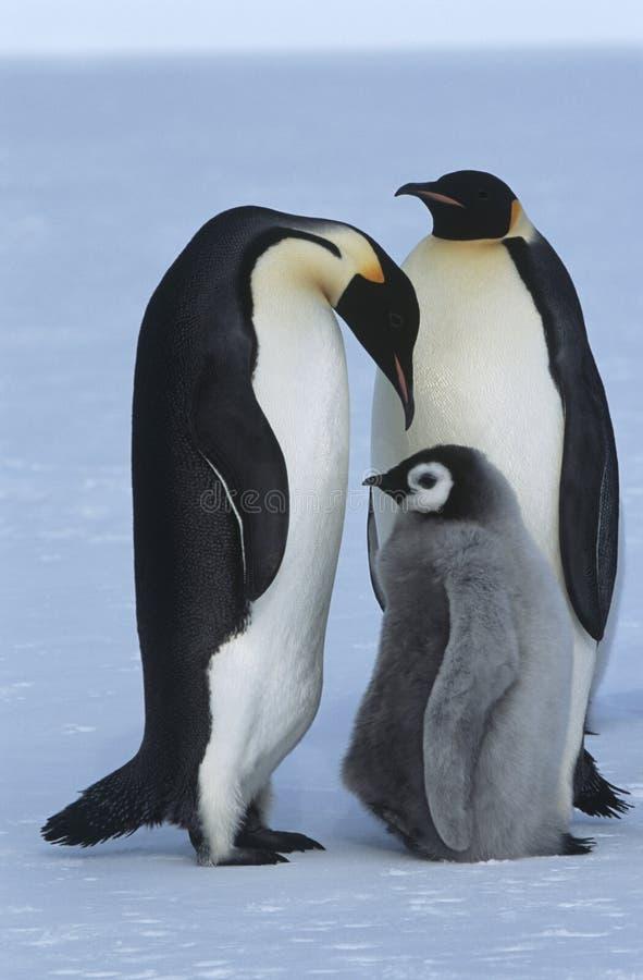 Семья пингвина императора залива Atka моря Антарктики Weddel стоковое изображение