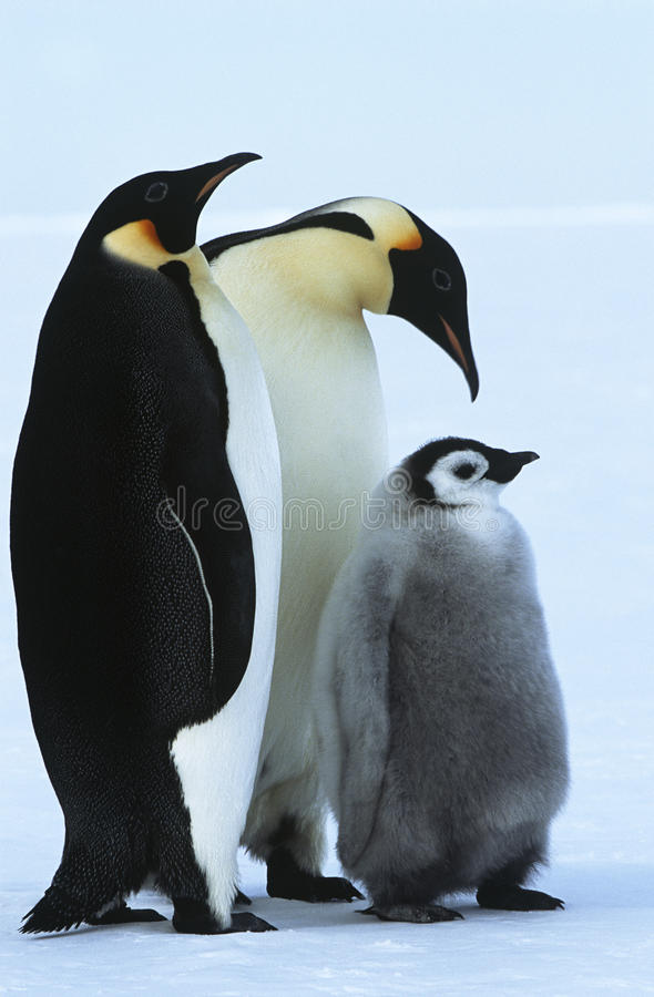 Семья пингвина императора залива Atka моря Антарктики Weddel стоковая фотография rf