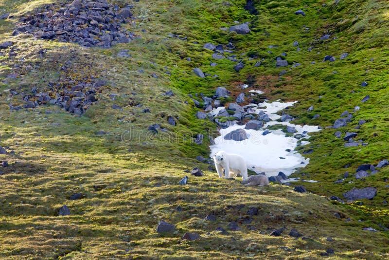 Семья полярных медведей на земле Frantz Josef острова Northbrook стоковые фотографии rf