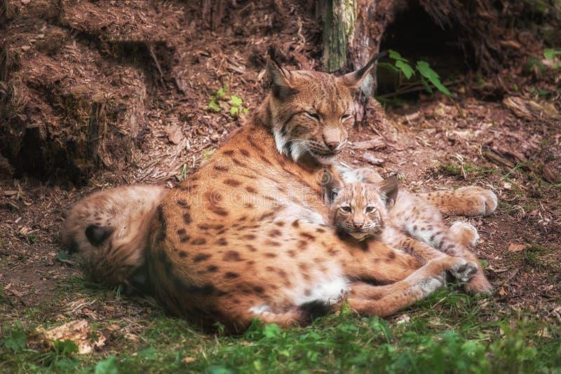 Семья рыся лежит в траве стоковое фото rf