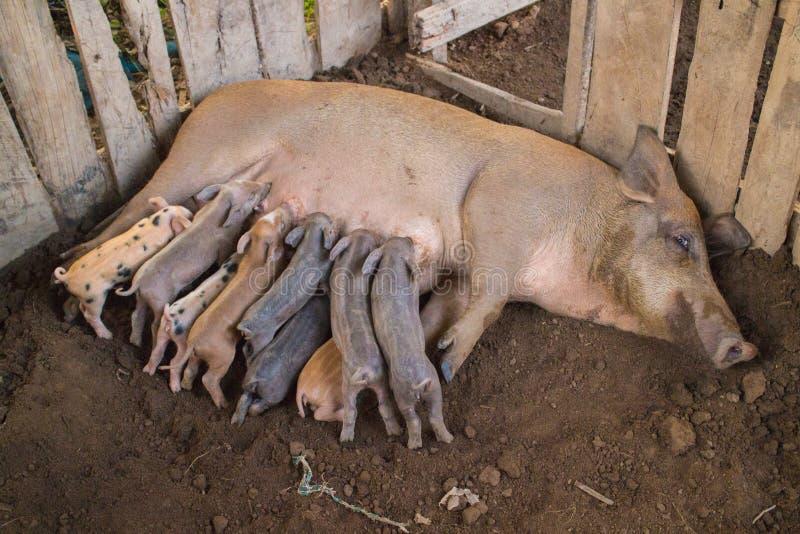 Семья свиньи стоковые изображения