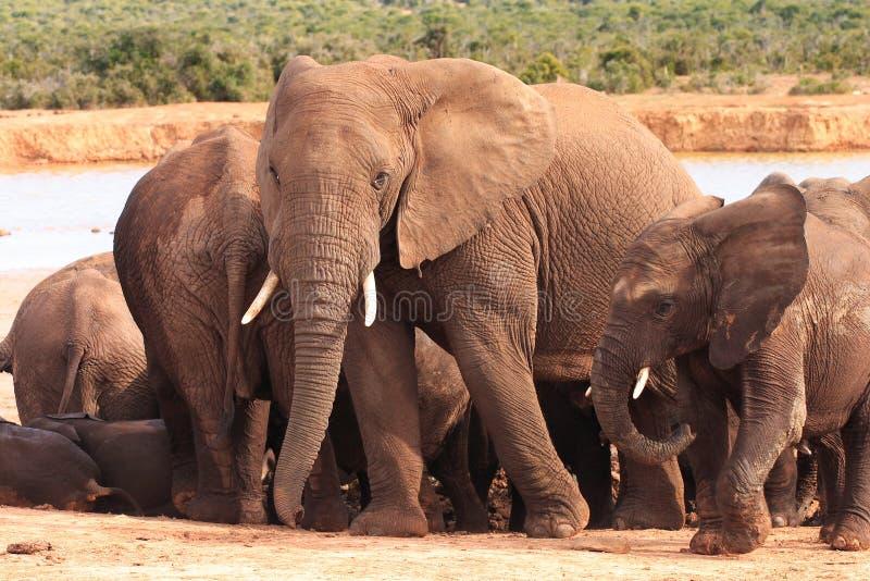 Семья слона на Waterhole стоковые изображения rf