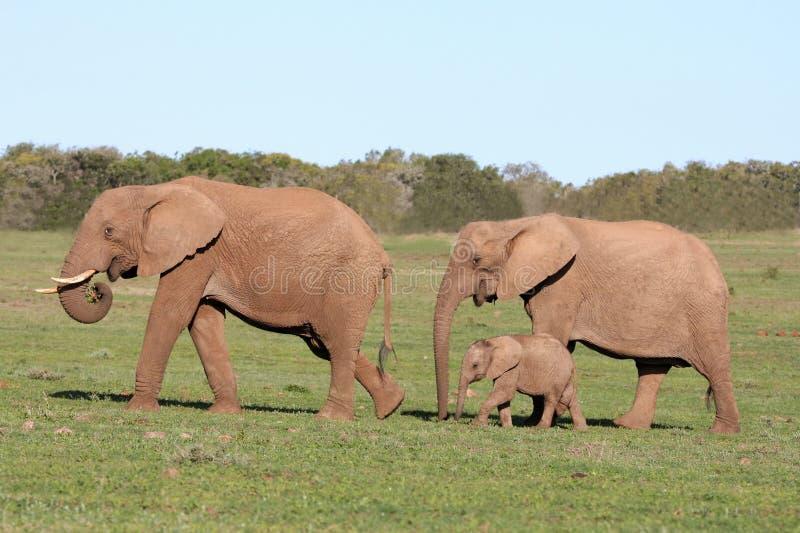 семья слона стоковые изображения