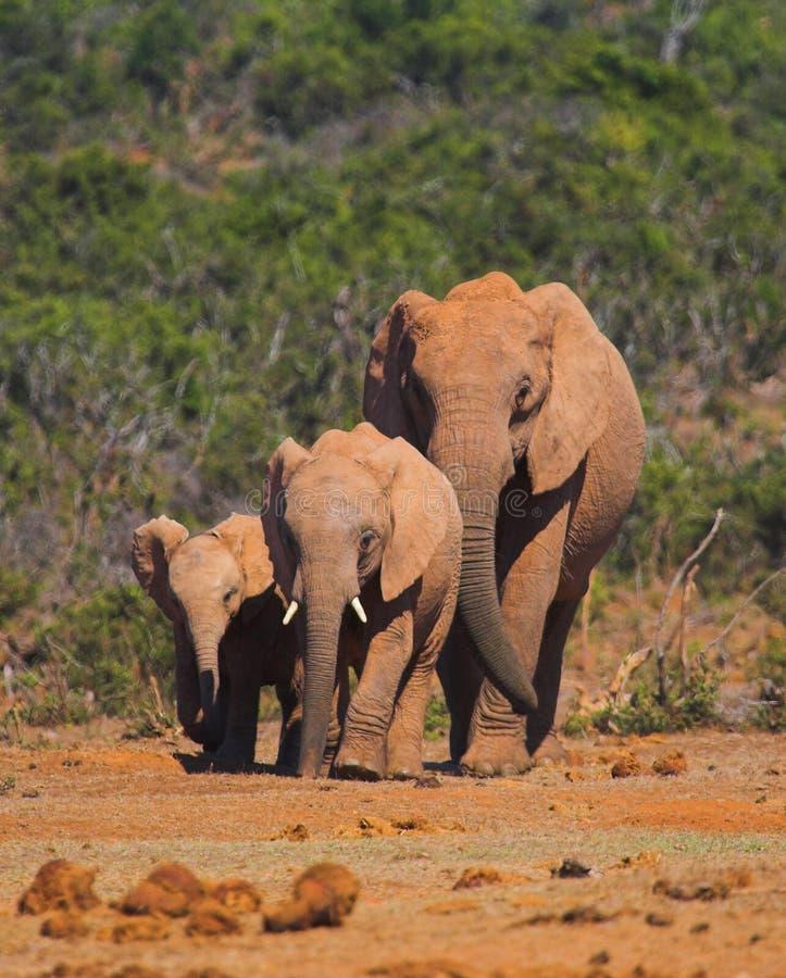 семья слона стоковое изображение rf