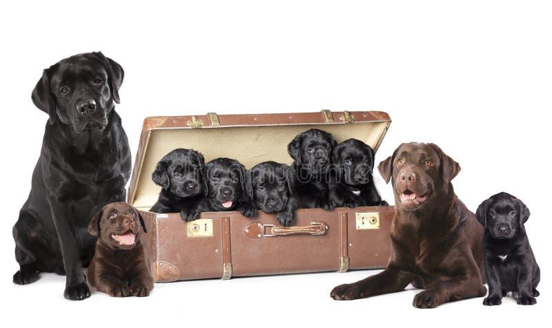 Семья собаки Лабрадор стоковая фотография rf
