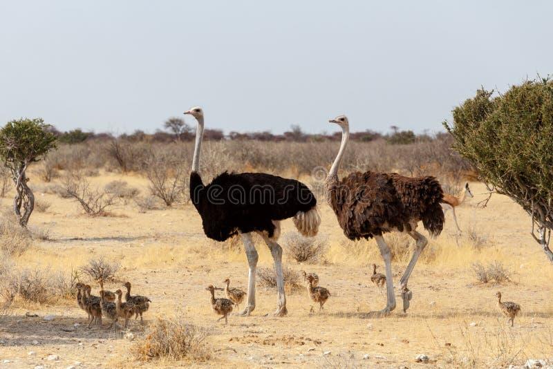 Семья страуса с цыплятами, camelus Struthio, в Намибии стоковое фото rf