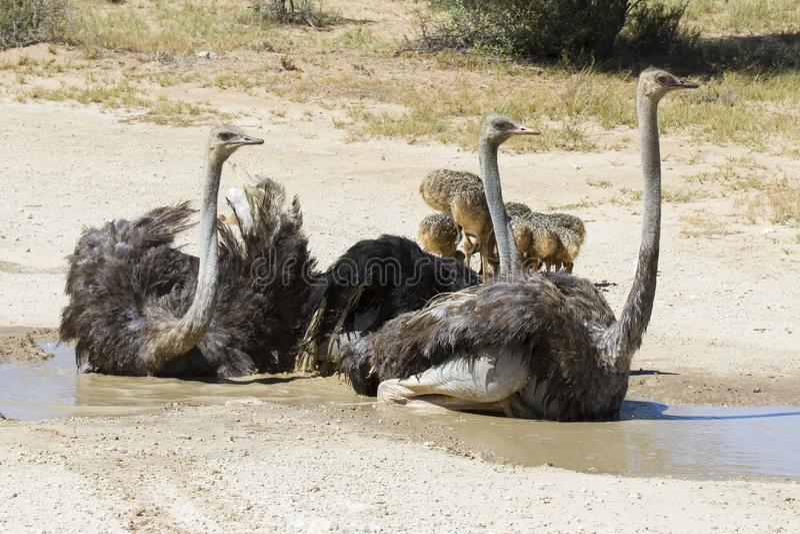 Семья страусов имея ванну в горячем солнце Kalahari стоковые изображения