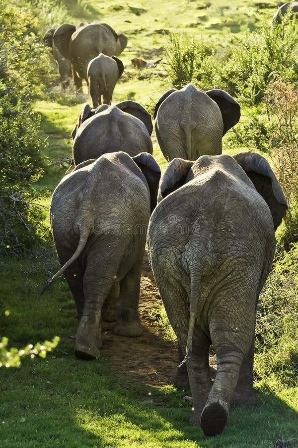 Семья слонов идя вверх по холму стоковые фотографии rf