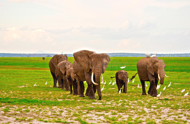 Семья слонов на сафари в Amboseli стоковые изображения rf