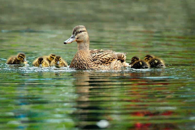 Семья утки кряквы стоковая фотография rf