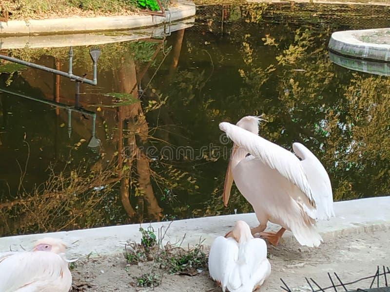 Семья утки стоковые фотографии rf