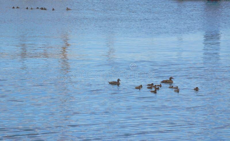 Семья утки плавая на воду стоковые фото