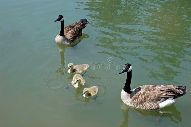 семья утки стоковые изображения