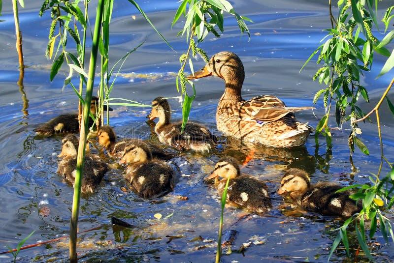 Семья уток, утка матери и утята плавают в воде стоковая фотография rf