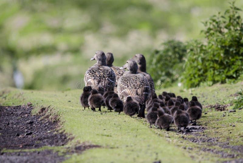 Семья уток Eider стоковое изображение