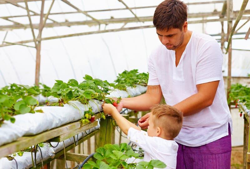 Семья фермера жать клубники в парнике стоковое изображение