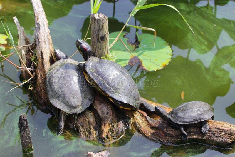 Семья черепахи стоковые фотографии rf