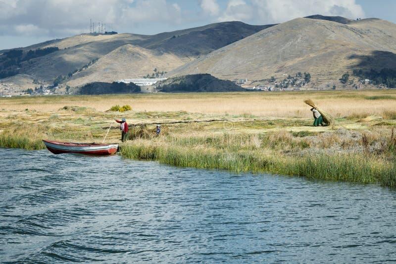 Семья Aymara собирает тростник для строить острова Uros плавая, озеро Titicaca стоковые изображения