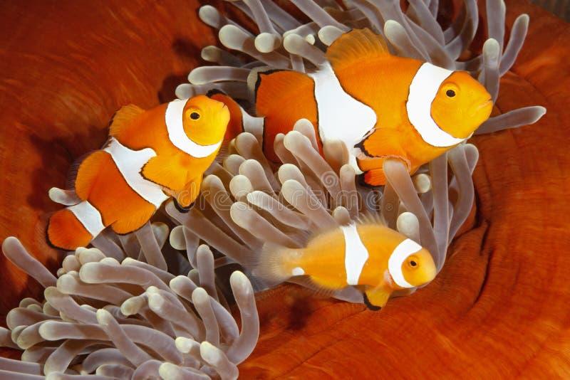 Семья Clownfish стоковое изображение