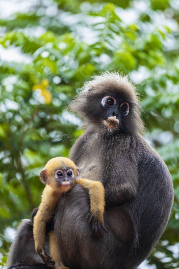 Семья dusky обезьяны лист или spectacled langur с желтой обезьяной младенца сидя на крыше стоковые фотографии rf