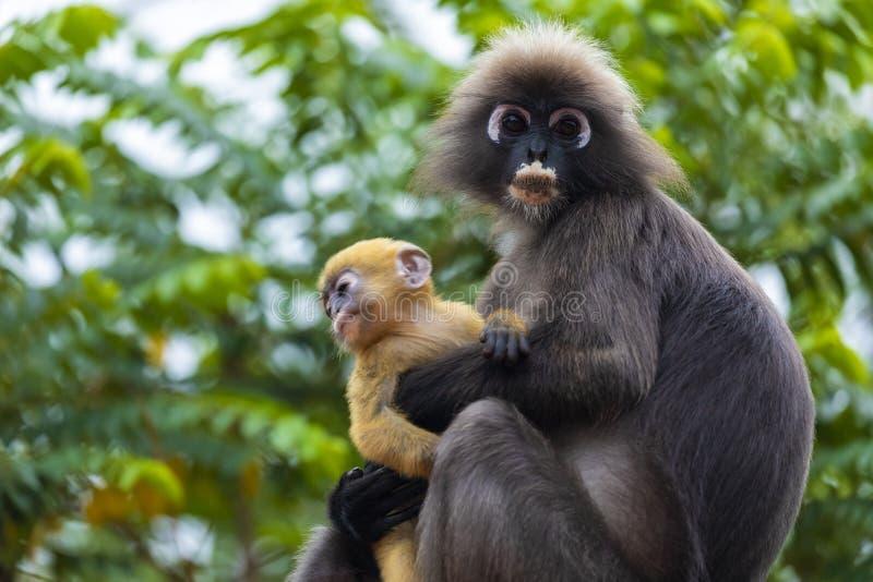 Семья dusky обезьяны лист или spectacled langur с желтой обезьяной младенца сидя на крыше стоковые изображения