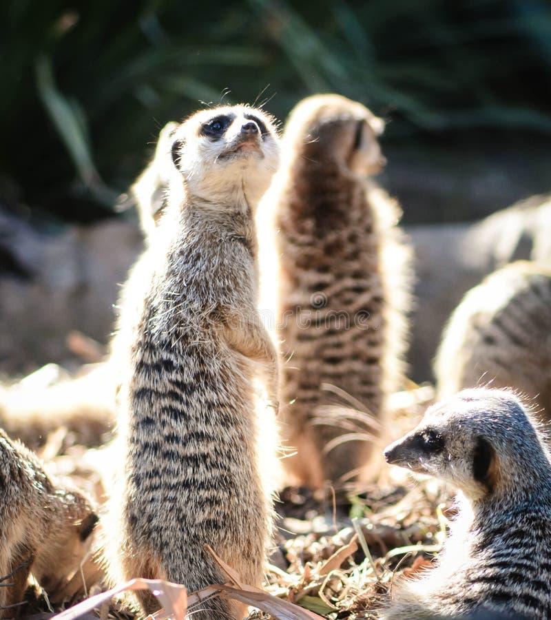 Семья Meerkat на бдительности стоковая фотография rf