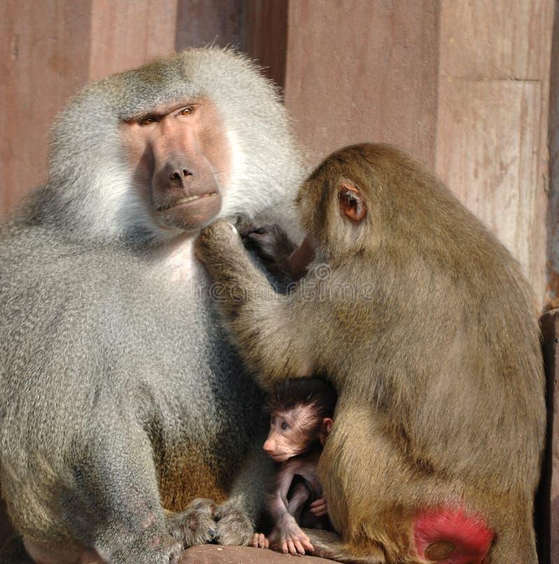 семья monky стоковые фото