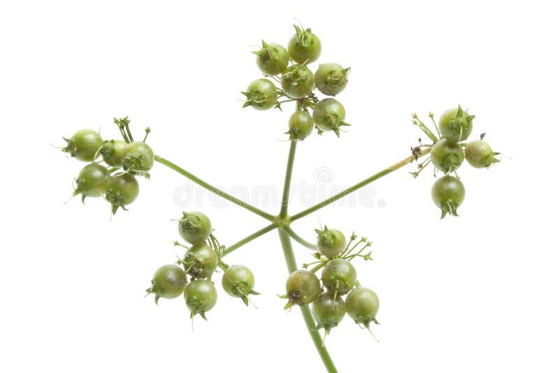 семя близкого кориандра свежее вверх стоковое изображение