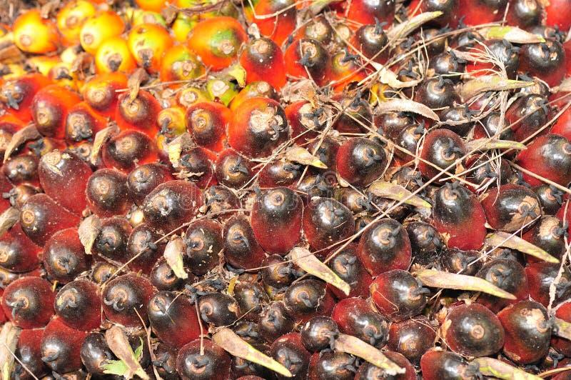 семя ладони стерженя стоковая фотография rf