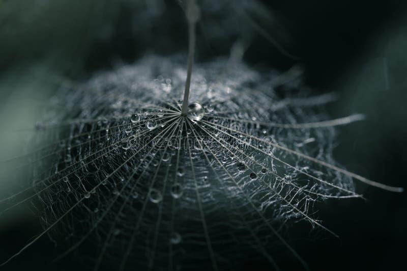Семя одуванчика с падением росы на темной предпосылке Селективный фокус стоковое изображение
