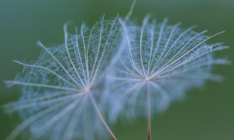 Семя одуванчика в большом конце вверх стоковая фотография