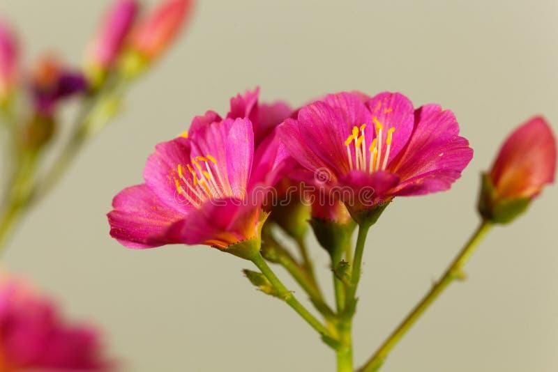 Семядоля Lewisia lewisia Siskiyou стоковые фотографии rf