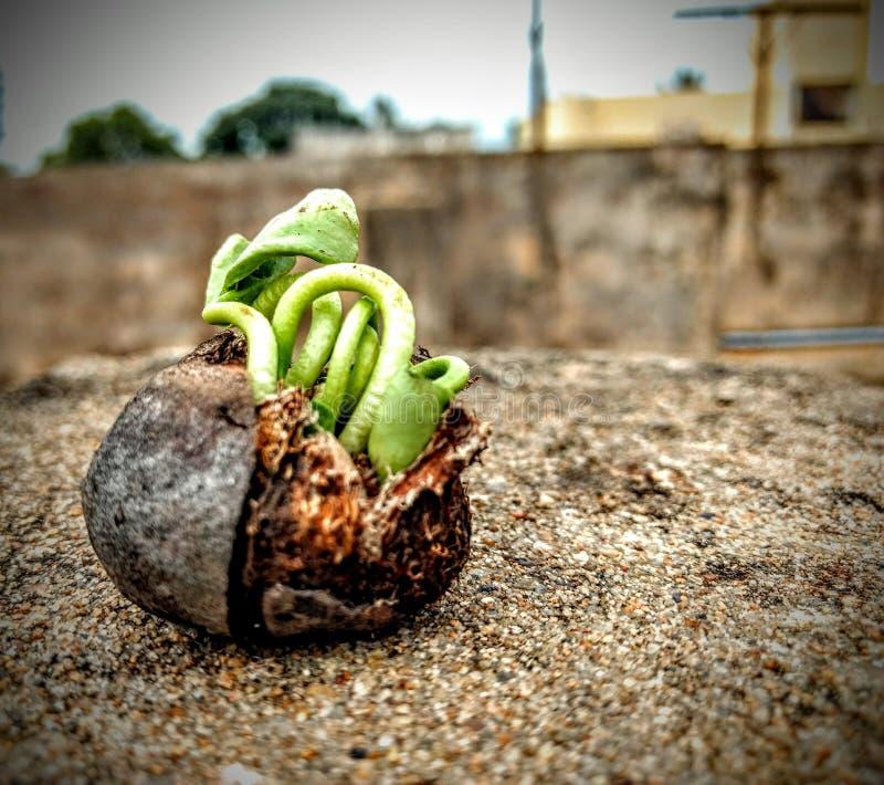 семя прорастания стоковое фото rf