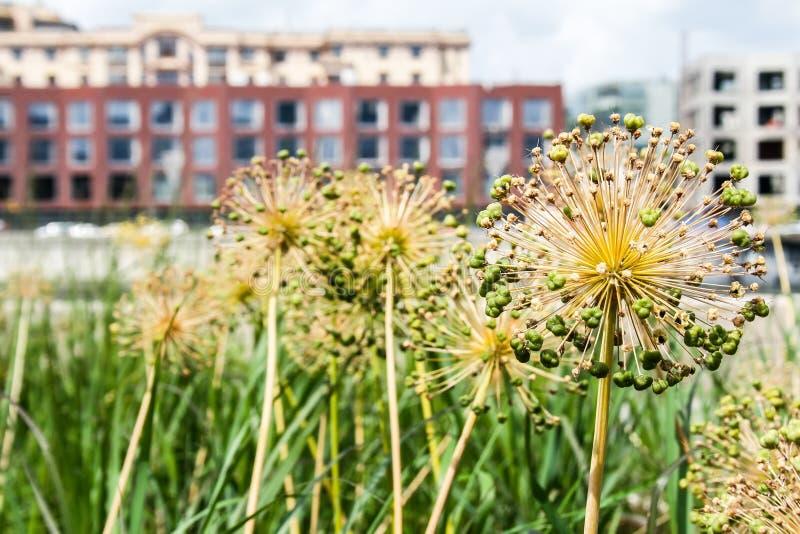 Семя giganteum лукабатуна возглавляет на предпосылке зданий стоковая фотография